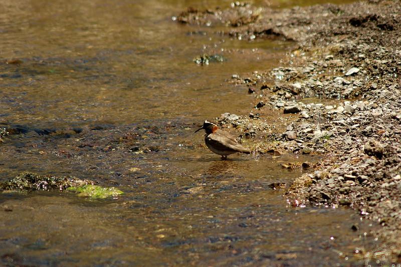 Diademed Sandpiper-plover