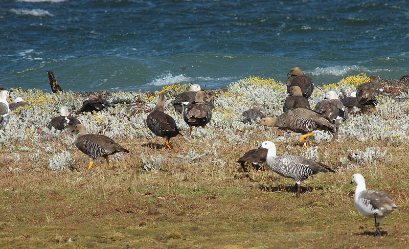 Upland Geese