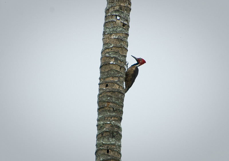 Guayquil Woodpecker