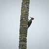Guayquil Woodpecker