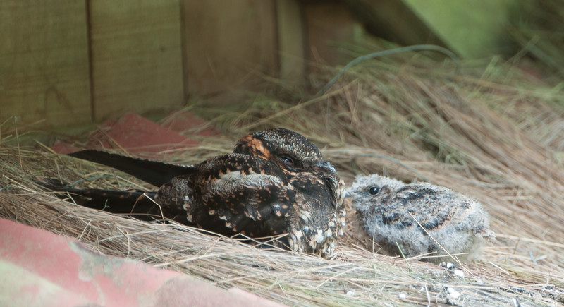 Lyre-tailed Nightjar (f) with a chick
