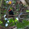 Round-tailed Manakin