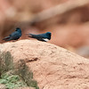 White-banded Swallows