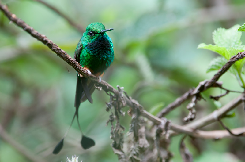 Booted Racquet-tail