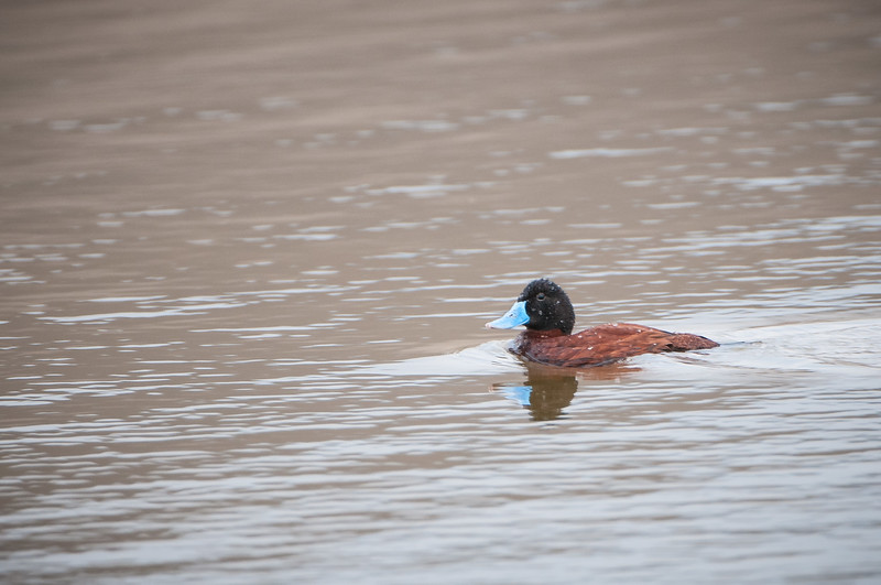 Andean (Ruddy) Duck