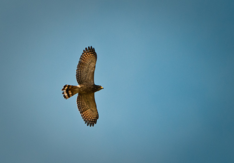 Roadside Hawk (juv)