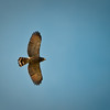 Roadside Hawk (juv)