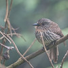 Black-streaked Puffbird