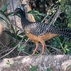 Bare-faced Curassow (f)