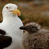 Kelp Gull and chicks