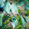 Golden & Blue-necked Tanagers