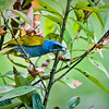 Blue and Yellow Tanager