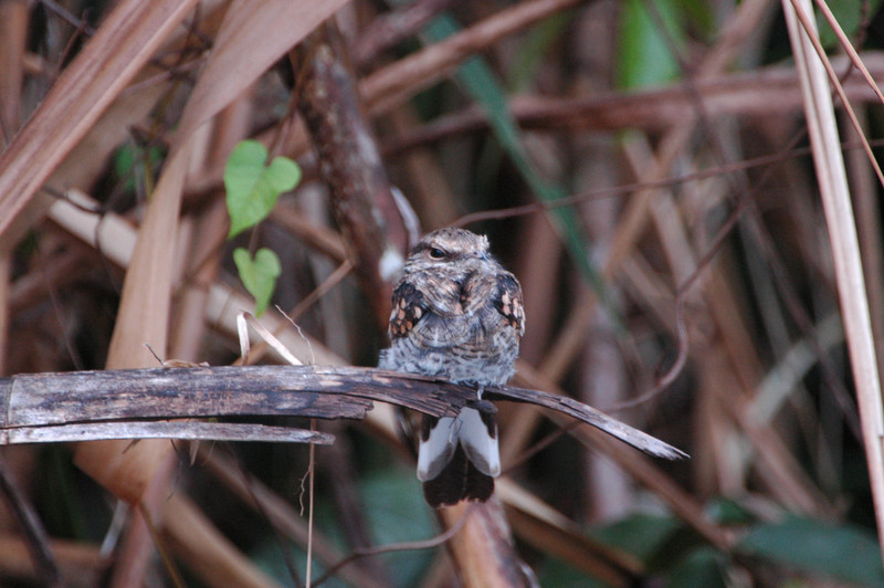 Ladder-tailed Nightjar