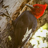 Magellanic Woodpecker, Torres del Paine NP,  Chile
