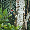 Crimson-crested Woodpecker, Ecuador