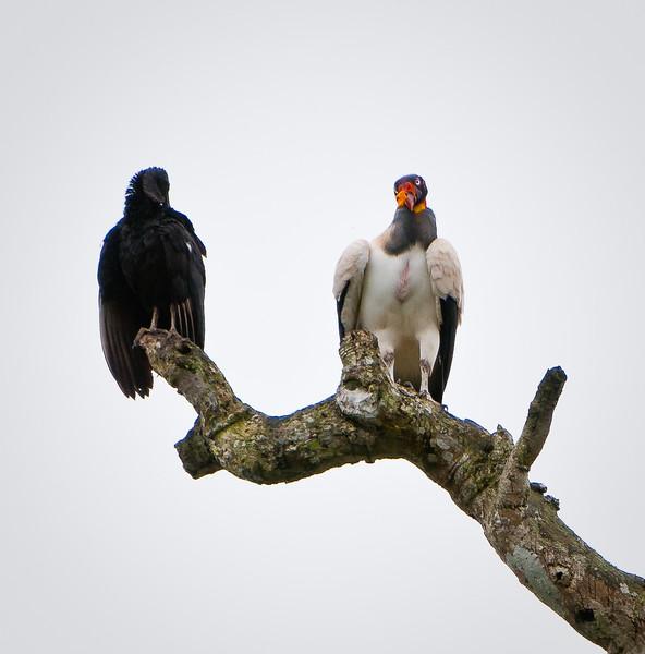 King Vulture & Black Vulture
