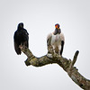 King Vulture & Black Vulture