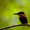 Green and Rufous Kingfisher