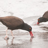 Blackish Oystercatchers