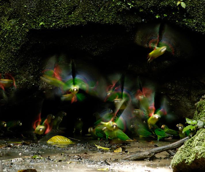 Scarlet-shouldered Parrolets, near Sacha Lodge, Rio Napa River Valley, E. Ecuador  March 2007