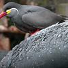 Inca Tern -- Peru