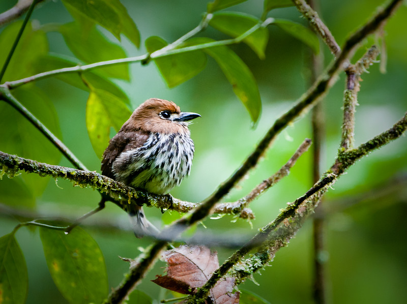 Lanceolated Monklet