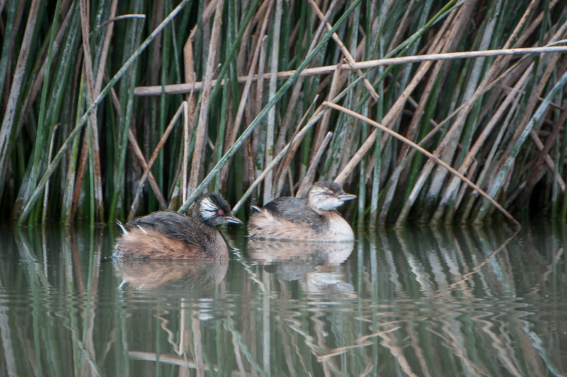 White-tufted Grebes