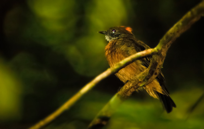 Orange-crested Manakin