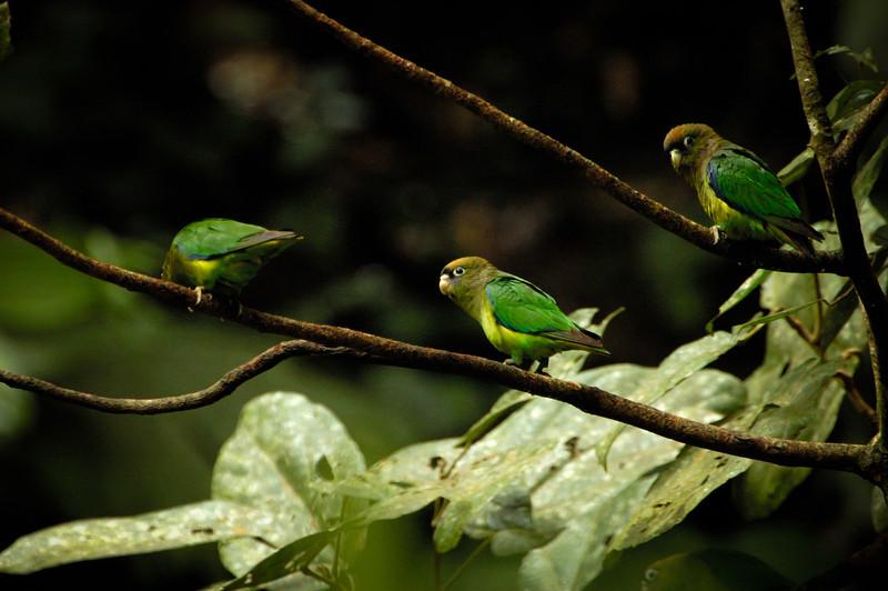 Scarlet-shouldered Parrolets