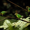 Scarlet-shouldered Parrolets