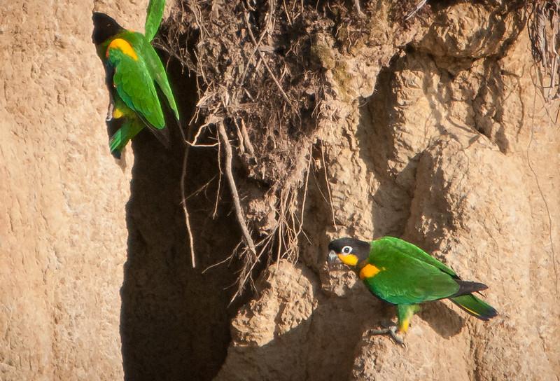 Orange-cheeked Parrots