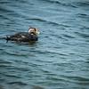 Fuegan (Flightless) Steamer-duck