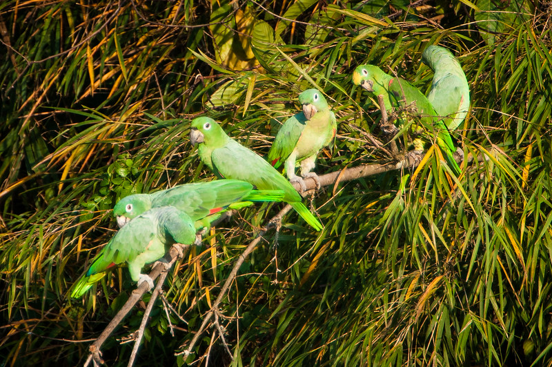 Yellow-crowned and Mealy Parrots