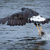 Great Black Hawk Fishing