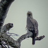 Young Harpy Eagle before dawn, Venezuela