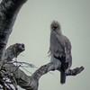 Young Harpy Eagle before dawn, Venezuela
