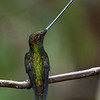 Sword-billed Hummingbird, Guango Lodge, east of Papallacta Pass, 2400 m., Ecuador  March 2006