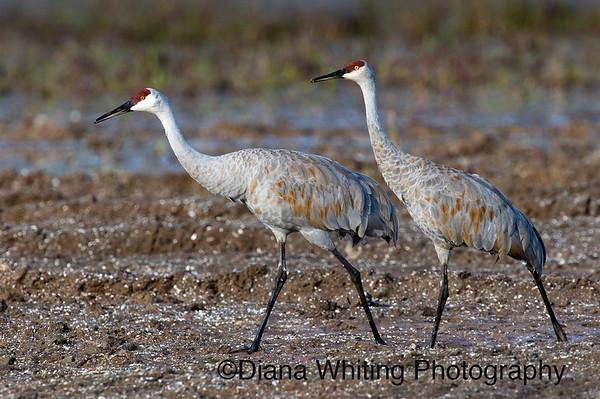 Sandhill Cranes, Sandhill Crane Pair