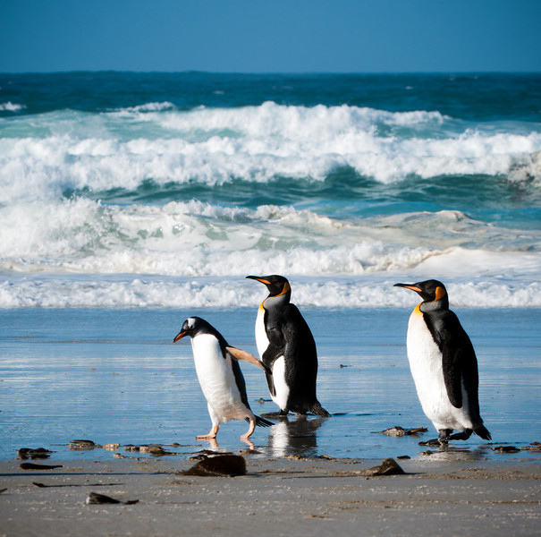 Gentoo and Kings