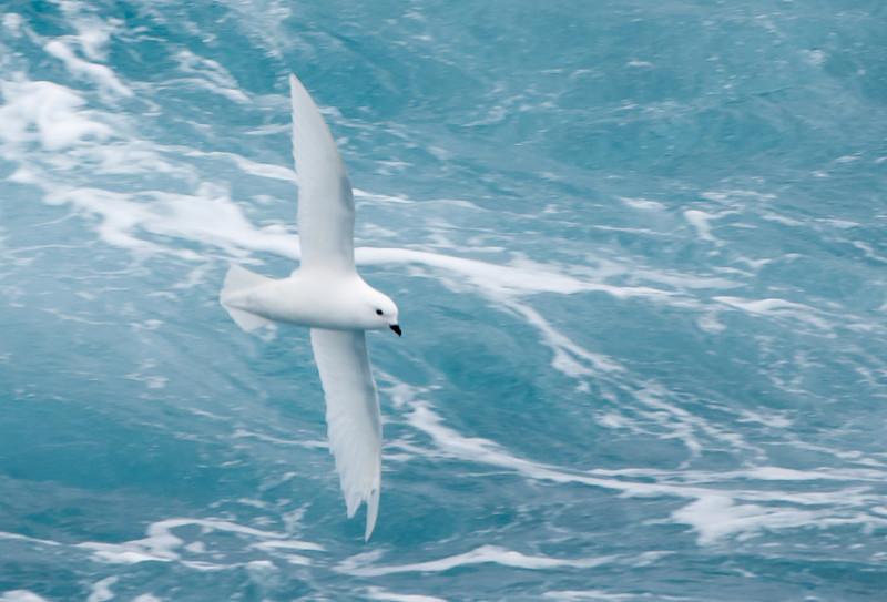 Snowy Petrel -- Drake's Passage  December 2013