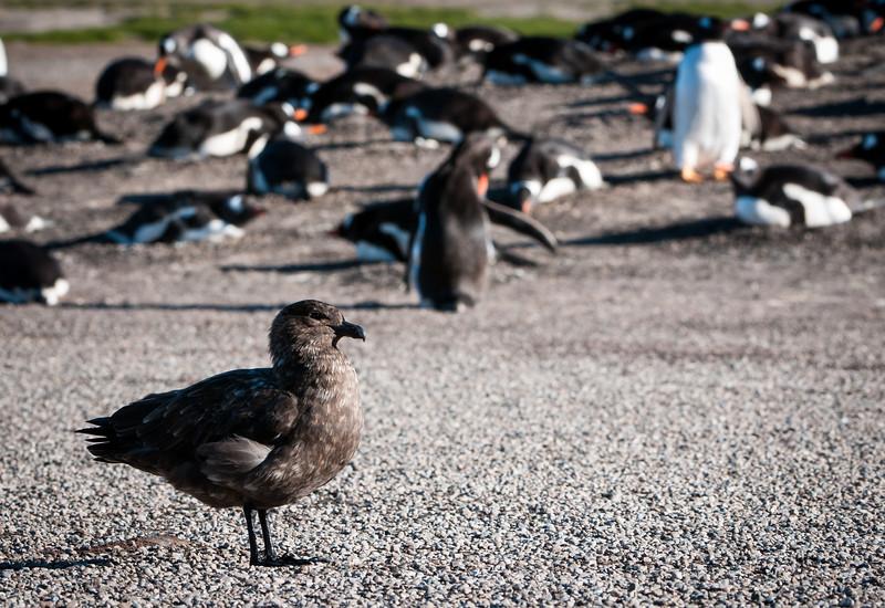 Brown (Antarctic) Skua patrolling Gentoo rookery