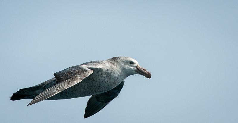 Southern Giant Petrel, mature plummage