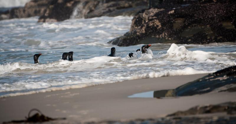 Rockhoppers coming ashore