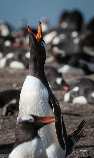 Gentoo geeting its mate