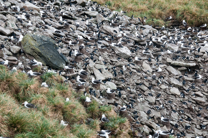 Mixed nesting colony of Rockhoppers and Blk-browed Albatross