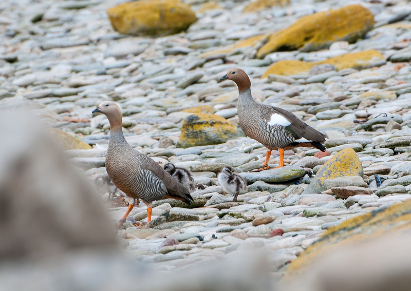Ruddy-headed Geese -- an endangered species