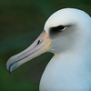 Layson Albatross Portrait - Midway Atoll File# 1125096