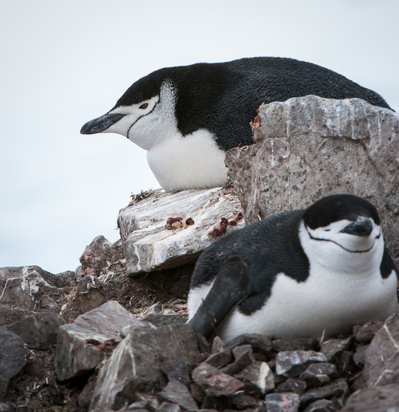 Chinstrap Penguins on nests