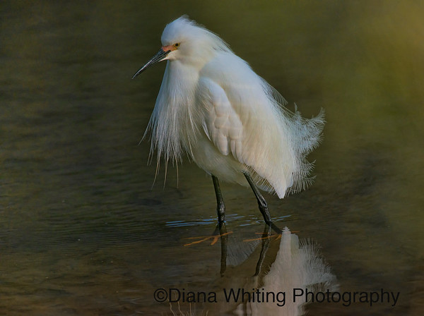 Snowy Egret Breeding Plumage
