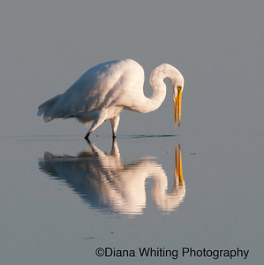 Great White Egret Fishing